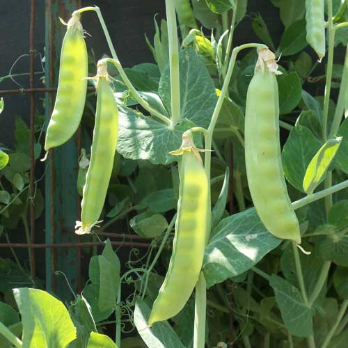 0139C-SWENSON-swedish-pea.jpg