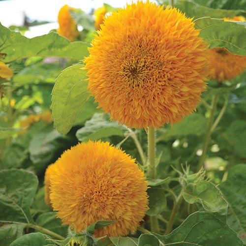 0326C-teddy-bear-sunflower.jpg