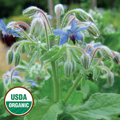 0457-borage-herb-organic.jpg