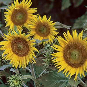 1088-irish-eyes-sunflower.jpg