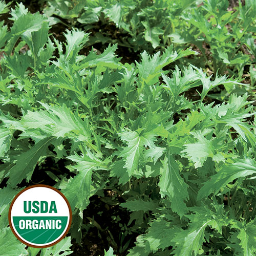 1557-MIZUNA-asian-greens-organic.jpg